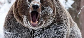 winter_snow_grizzly_bears_cocaine_bears_1280x1024_wallpaper_Wallpaper_1080x960_www.wallpaperhi.com